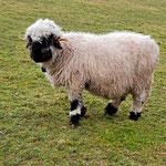Schaf gerüstet auch für strengste Winter