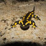 Un salamandre observé à proximité du gite de Tres Bayard location de vacances et week end - Saint Claude - Jura