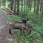 Les biquettes en promenade - Les animaux du gite de Tres Bayard location de vacances et week end - Saint Claude - Jura
