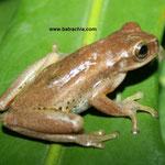 Dendropsophus padreluna, Foto Andrés Acosta