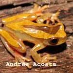 Dendropsophus triangulum Meta, Foto Andrés Acosta
