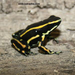 Dendrobates truncatus;Caldas, Foto Andrés Acosta