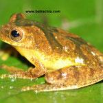 Dendropsophus stingi- Casanare, Foto Andrés Acosta