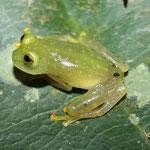 Hyalinobatrachium fleischmanni Sucre (Colombia)