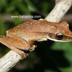 Hypsiboas lanciformis, Meta, Foto Andrés Acosta