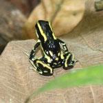 Dendrobates truncatus;Sucre, Foto Andrés Acosta