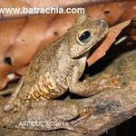 Hypsiboas rosenbergi, Valle del Cauca, Foto Andrés Acosta