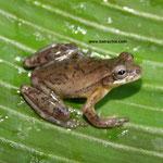 Dendropsophus columbianus , Quindio Foto Andrés Acosta