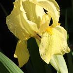 Iris-Lilie