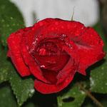 rote Rose nach dem Regen