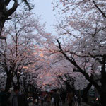 高田公園夜桜