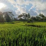 Bali Ubud Reisfelder