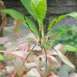 Bali Spider