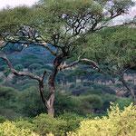 Tarangire. Tansania.