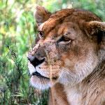 Serengeti.Tansania.