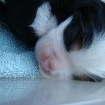Kris Hassig's 7 week old King Charles Cavelier Spaniel