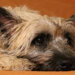 Bonnie - auch heller geworden als wir vermuteten - aber mit charmanten dunklen Öhrchen
