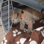 Bailey's trainiert schon mal das Schlafen in der Transportbox von Bella