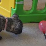 Bentje nähert sich zunächst gaaaanz vorsichtig dem Mini-Luftballon