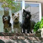 Tosca und zwei ihrer Biewer-Yorkshireterrier-Freunde aus der Zucht meiner Freundin Beata