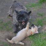 Bailey's sucht immer die Nähe der großen Hunde und reibt sich