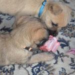 ...oder ein frisches Stück Ochsenschwanz, den sich Bella und Bentje hier schwesterlich teilen.