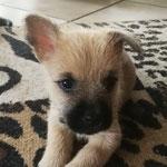 Bella wartete Mitte der Woche - ganz stolz -mit dem ersten B-Wurf-Stehöhrchen auf. Wir freuen uns mit ihr!