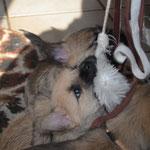 Großes Gerangel mit dem Katzen-Spielhandschuh