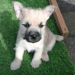 Unser Quotenhund Bella - mit sage und schreibe zwei (!) Stehöhrchen vor Ablauf der 8. Woche