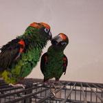 Mari & Chico ( Grüne Kongopapageien)