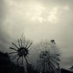 Verblühter Löwenzahn mit Regentropfen