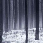 Kiefernwald, leichter Dunst, Schnee