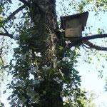 Vogelheim in der Birke mit Clematis Montana