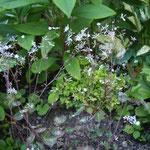 Thalictrum osmundifolium