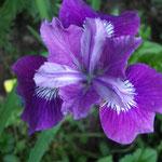 Iris sibirica Lady Vanessa