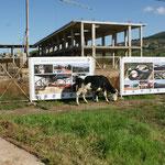 Die Kuh die lacht vor der Baustelle.Hinten Algerien