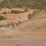 die Kamele werden zur Tränke geführt an den Draa