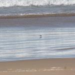 Sie laufen hinter den Wellen her und picken die Kleinsttierchen auf und rennen vor den Wellen davon