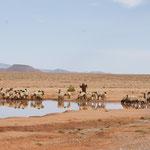 Der Schäfer mit seiner Herde an der Tränke
