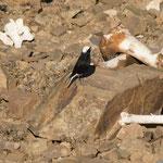 Saharaspatz mit grossem Hunger. Zwar schon oft gesehen aber noch nie fotografisch festgehalten.