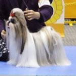 BOB受賞犬  居並ぶチャンピオン犬の中でも光っていました。
