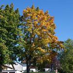 Der Baum konnte sich nicht entscheiden ob noch Sommer oder Herbst