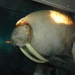 Das Walross