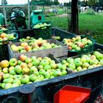 Ca. 350 kg appels: meer dan genoeg voor een stookronde.