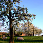 De boomgaard in Koulen, rechtsachter: 't Sjroapes