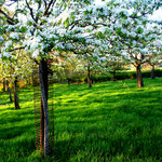 De boomgaard in Walem