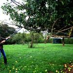 Appels worden uit de boom geschud met een haak aan een lange stok.