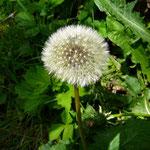 Pusteblumen (verblühter Löwenzahn)