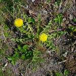 Löwenzahn (taraxacum officinale)_ganze Pflanze