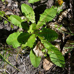 Löwenzahn (taraxacum officinale)_Blattrosette